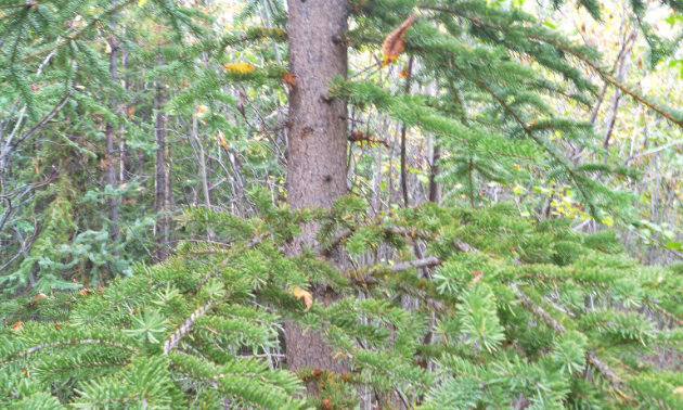 A typical tree sampled for biogeochemical analysis.