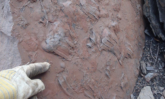 The crocodilian track slab Kevin Sharman identified while working at Teck Resources' Quintette Mine.