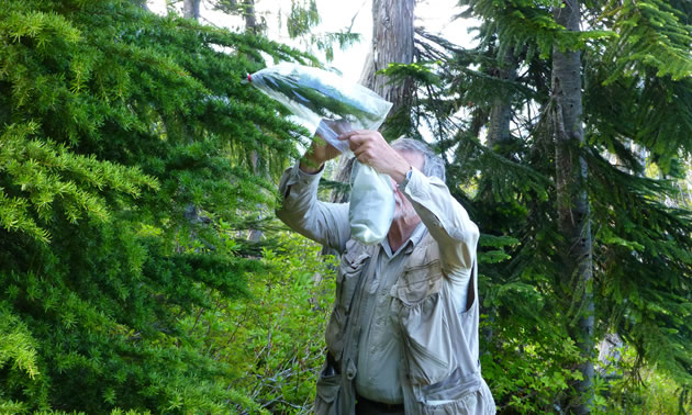 Heberlein is attaching a plastic bag to a tree branch tip.