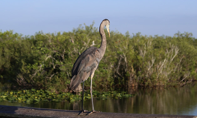 Picture of blue heron.