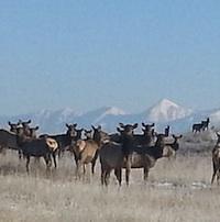 A herd of elk graze on the former Sullivan Mine site.