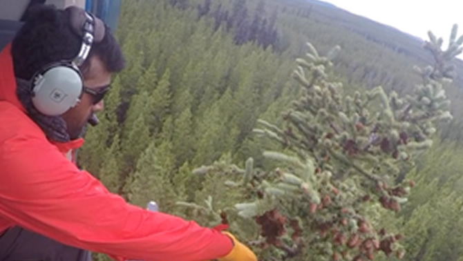 Scientist collecting samples of spruce trees from a helicopter.